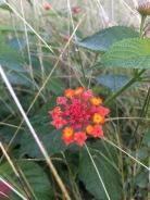 A pretty little wayside flower